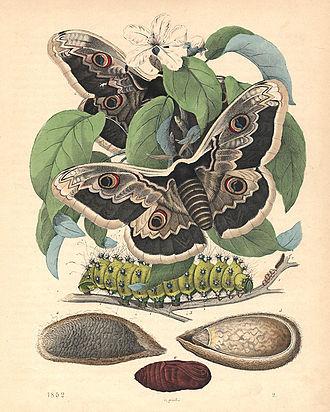 Saturniidae - Life stages of giant emperor moth (Saturnia pyri)