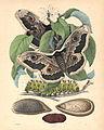 Great Peacock Moth.jpg