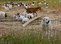 Great Pyrenees dog and goats.jpg