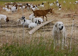Livestock guardian dog - A Great Pyrenees with a herd of goats.
