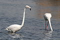Greater Flamingo, Phoenicopterus roseus at Marievale Nature Reserve, Gauteng, South Africa (21284046099).jpg