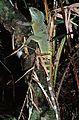 Green Water Dragon (Physignathus cocincinus) male (7783334764).jpg