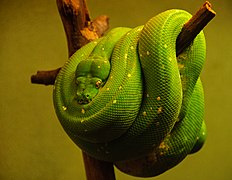 Green snake (4153828047).jpg
