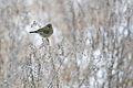 Greenfinch Lodz(Poland)(js)03.jpg