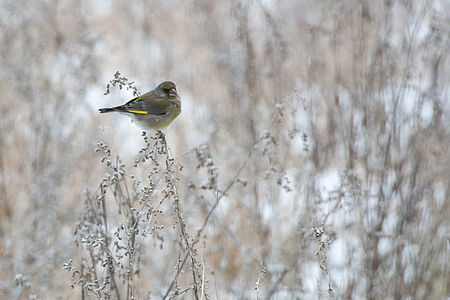 Greenfinch Lodz(Poland)(js)03.jpg