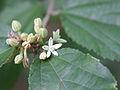 Grewia parviflora fleur2.JPG