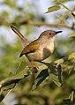Grey-backed Camaroptera, Camaroptera brachyura, Chobe National Park, Botswana (32412422672).jpg