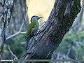 Grey-headed Woodpecker (Picus canus) (41316458955).jpg