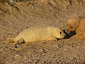 Grey seal Halichoerus grypus young4.jpg