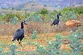 Ground Hornbill, Omo Valley (13124016413).jpg