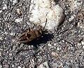 Ground beetle (2765731491).jpg