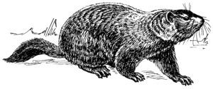 English: Line art drawing of a ground hog