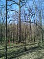 Group of 10 oak trees in Scoreni forest 05.jpg
