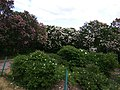 Gryshko botanical garden (May 2018) 15.jpg