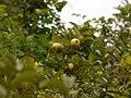 Guava (6817429411).jpg