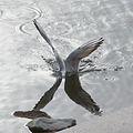 Gull Fish Hunting (2926698626).jpg