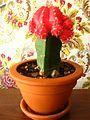Gymnocalycium Hibotan forma Rubra. Grafted cactus..JPG