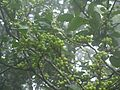 Gymnosporia rothiana (4759056907).jpg