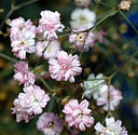 Gypsophila repens - close-up (aka)