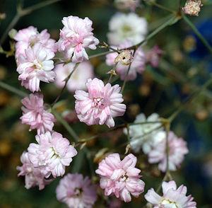 Gypsophila - Gypsophila repens