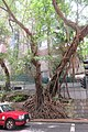 HKU campus Bonham Road Chinese banyan trees Aug 2017 IX1.jpg