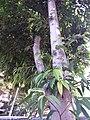 HK CWB 銅鑼灣 Causeway Bay 維多利亞公園 Victoria Park tree trunk n green leaves December 2019 SSG 38.jpg