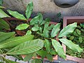 HK Mid-levels High Street clubhouse green leaves plant February 2019 SSG 50.jpg