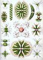 Haeckel Desmidiea.jpg
