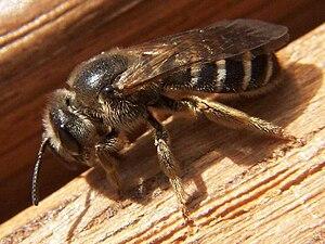 jordbier