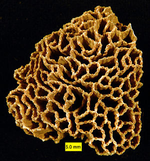 Geophotography - A staged laboratory photograph of Halysites sp., a Silurian tabulate coral, by Mark Wilson