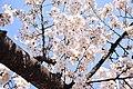 Hanami in Inogashira park (31939965537).jpg