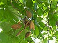 Hanging pods of Pongamia.jpg