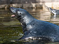 Happy seal (15191858460).jpg