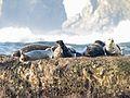 Harbor Seals, Phoca vitulina - Flickr - GregTheBusker (1).jpg