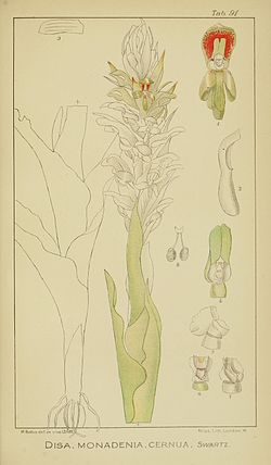 Harry Bolus - Orchids of South Africa - volume II plate 091 (1911).jpg
