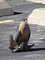 Hawk with Kill - Springfield - Illinois - USA (32921934405).jpg