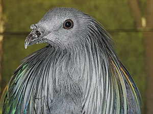 Nicobar pigeon - Close up of the head