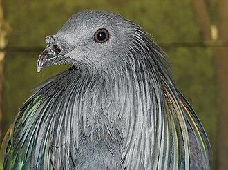 Nicobar pigeon - Close up of the head
