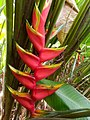 Heliconia caribaea flower 01.jpg