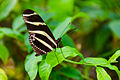 Heliconius Charitonius Butterfly (6917397633).jpg