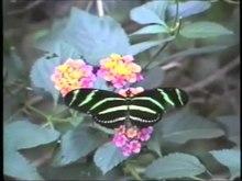File:Heliconius charitonia - Zebra Longwing.webm