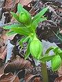 Helleborus viridis ENBLA11.jpg