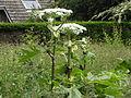 Heracleum mantegazzianum R.H. 19.jpg