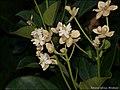 Hernandia moerenhoutiana subsp. campanulata 1.jpg