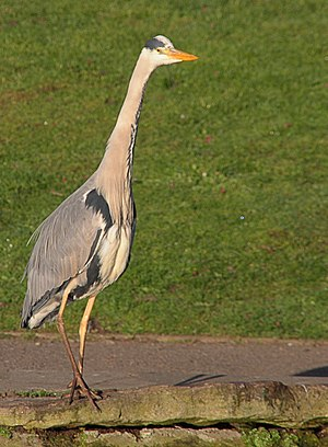 Walpole Park - local resident of pond