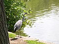 Heron at Broadwater Lake.jpg
