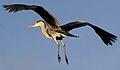 Heron flying over 2 (6686456637).jpg