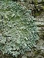 Heterodermia speciosa - Flickr - pellaea.jpg