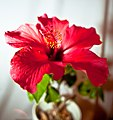Hibiscus-5 (4081641548).jpg