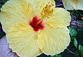 Hibiscus Flower-Taormina-Sicilia-Italy-Castielli CC0 HQ - panoramio - gnuckx (1).jpg